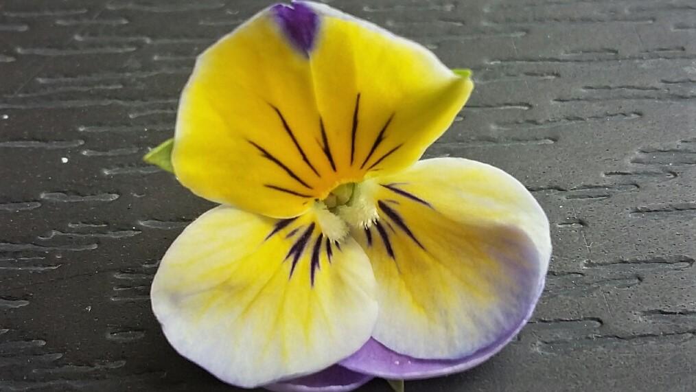 rouwviooltje